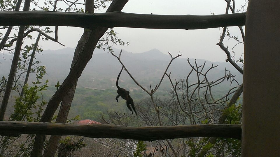 Monkeys! Pet sitting in the Nicaraguan mountains.